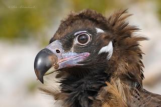 Eurasian Black Vulture (juvenile wild bird)
