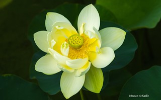 Lemony yellow lotus