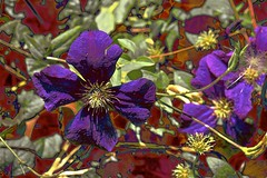 Purple Bloom! (maginoz1) Tags: flowers abstract foliage contemporary art summer bulla melbourne victoria australia december 2017 canon g3x clematis