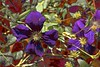Purple Bloom! (maginoz1) Tags: flowers abstract foliage contemporary art summer bulla melbourne victoria australia december 2017 canon g3x clematis awardtree