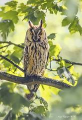 Long-eared Owl. ( Explored ) (nondesigner59) Tags: asiootus longearedowl piercingeyes stare wildlife predator bird nature owl hunter copyrightmmee eos7dmkii nondesigner nd59