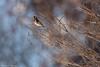 _JHS9884 (Bribes de terre) Tags: faune oiseau hiver chardonneret