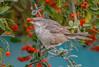 JWL6724  Barred Warbler.. (jefflack Wildlife&Nature) Tags: barredwarbler wildlife wildbirds woodlands warbler warblers birds avian animal animals songbirds migrants countryside copse glades hedgerows nature