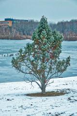 dec 17 2017 - tree (avflinsch) Tags: ifttt 500px winter cold tree snow ice