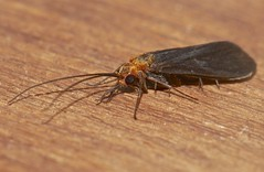 moth mimic Caddis fly Hydropsychidae Trichoptera Airlie Beach rainforest P1100448 (Steve & Alison1) Tags: moth mimic caddis fly trichoptera airlie beach rainforest hydropsychidae