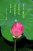 lkh02 (kin hoong2013) Tags: black lotus pinklotus pink outdoor lake garden photoshop lightroom adobe landscape 荷花 荷花池 莲花 莲花池 书法 calligraphy malaysia green leaf 花 nikon d500 nikond500