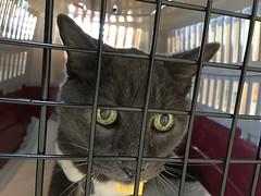 Cranky and Bonkers (sjrankin) Tags: closeup catcarrier carrier cage japan hokkaido kitahiroshima bonkers cat animal edited 19december2017
