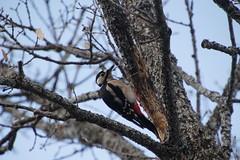 Dendrocopos major - Pico picapinos - great spotted woodpecker (Bichos Y Verde) Tags: dendrocoposmajor picopicapinos greatspottedwoodpecker aves piciformes picidae dendrocopos rascafría madrid pájarocarpintero pájaro bird birds woodpecker fauna