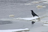 American Crow (U.S. Fish and Wildlife Service - Midwest Region) Tags: minnesota mn fortsnelling statepark nature december 2017 winter fall snow ice mississippiriver river crow americancrow bird birds birding