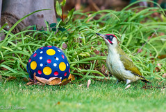 OK Who's in goal ? (jeffcoleman372) Tags: garden grass football colours game greenwoodpecker ball