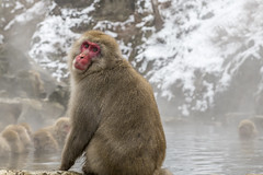 _RJS2235 (rjsnyc2) Tags: 2017 asia d850 day hokkaido japan monkeypark nagano nikon nikond850 onsen park remotesilver remoteyear richardsilver richardsilverphoto richardsilverphotography snowmonkeys travel travelphotographer travelphotography travelphotographykampot unesco animals monkey snow winter