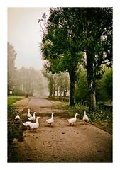 hiver sur l'étang, les oies (Marie Hacene) Tags: hiver vertlepetit étang arbres brouillard oies
