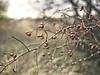 2017:12:17 16:00:27 (torstenbehrens) Tags: bokeh dornenfrüchtesüdstrandfehmarnschleswigholsteindeutschland dornen früchte südstrand fehmarn schleswigholstein deutschland
