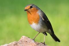 Pettirosso-Robin. (Riccardo Bocconi.) Tags: