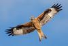 Red Kite (Simon Stobart) Tags: red kite milvusmilvus flying north england ngc npc