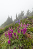 Western Sweetvetch along Trail to Mount Townsend in Olympic National Forest (Lee Rentz) Tags: buckhornwilderness hedysarumoccidentale hoodcanal hoodcanalrangerdistrict july mounttownsend mttownsend olympicmountains olympicpeninsula olympics pacificnorthwest usforestservice washington washingtonstate westernsweetbroom westernsweetvetch alpine america blossom climate clouds cloudy color condensatiocondensing droplets drops flora flower flowering fog foggy green hiking lush meadow mist misty mountainous mountains nature northamerica northwest olympicnationalforest outdoor outdoors overcast peafamily plant subalpine summer terrain theolympics trail usa weather wet wild wildflower wildflowers wilflowers