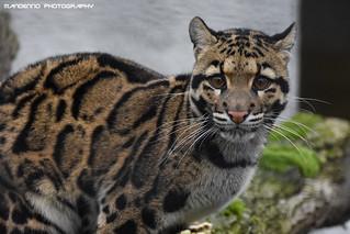 Clouded leopard - Olmense Zoo