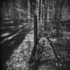 The Morning Walk #50 (LowerDarnley) Tags: holga woods morningwalk trees fencepost backlit shadows middlesexfellsreservation ma