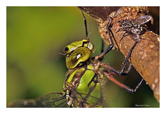 Dragonfly and lunch (Graham Pym) Tags: dragonfly fly green insects odonata nikon pond