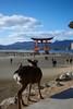 鳥居與鹿 Deer and Torii (mk_is_here) Tags: 宮島 japan hiroshima miyajima 日本 廣島 厳島 itsukushima nikon d800
