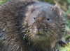 73 water vole - Best2017 (Neil Phillips) Tags: arvicolaamphibius greenbackground lemna mammalia rodentia watervole wildflowers aquatic atcamera brown duckweed ears eyes face head headon look looking mammal mouth northern onwater open perched rat ratty rodent standing straightahead surface teeth whiskers