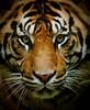 Tiger (Thanks for 6M+ views! Pix.by.PegiSue) Tags: sumatrantiger bigcat tigers allrightsreservedcopyrightpixbypegisue