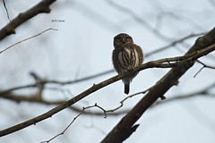 Northern Pygmy Owl-Hey what's that? (featherweight2009) Tags: northernpygmyowl glaucidiumgnoma owls raptors birdsofprey birds