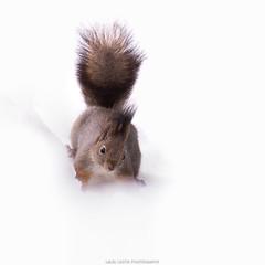 Squirrel (laurilehtophotography) Tags: 2017 kortepohja orava talvi suomi finland jyväskylä nature wildlife animal trees city snow winter squirrel nikon d610 nikkor 200500mm amazing europe earth detail