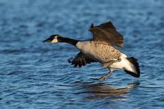 Canada Goose (Simon Stobart) Tags: canada goose branta canadensis northeastengland water landing coth5 ngc npc