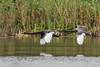 Black Swans in Flight (Linda Martin Photography) Tags: wildlife blackswan narellan harringtonpark australia birds lake animals sydney cygnusatratus campbelltown nsw coth alittlebeauty ngc coth5