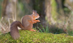 Red Squirrel (KHR Images) Tags: redsquirrel sciurusvulgaris wild mammal rodent dumfriesandgalloway scotland scottish wildlife nature nikon d500 woodland forest kevinrobson khrimages