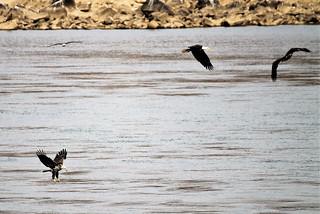 Conowingo Dam ~ Eagle party