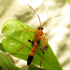 Parasitic Wasp (treegrow) Tags: washingtondc rockcreekpark lifeonearth nature raynoxdcr250 arthropoda insect hymenoptera ichneumonidae