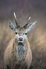 The future... (tommerchant1) Tags: deer reddeer pricket future wildlife nature britishwildlife wild winter winterwatch countryside nikon