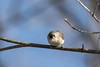 Tufted Titmouse (Kern.Freesland) Tags: birds branch wildlife animals nature tufted titmouse