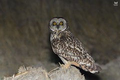 Coruja do Nabal, Short-eared Owl (Asio flammeus) (Nuno Xavier Moreira) Tags: corujadonabal shortearedowlasioflammeusnunoxavierlopesmoreira ngc animals animais aves de portugal observação nature natureza selvagem pics wildlife wildnature wild photographer birds birding birdwatching em bird ao ar livre ornitologia nuno xavier moreira nunoxaviermoreira liberdade national geographic xfx35 xfx75 xfp35 xfp75 xrc20 xlm9 wwwvidaselvagemnoturnapt prey nocturnas noturnas all xpress us asioflammeus shortearedowl