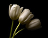 The Observers 1201 (Tjerger) Tags: nature beautiful beauty black blackbackground bloom blooming blooms closeup fall flora floral flower flowers green macro plant portrait three trio tulip tulips white wisconsin natural observers