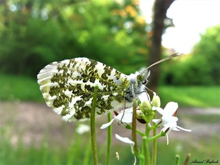 Butterfly 1519