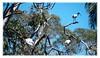 4 Ibis plus others (Leonard J Matthews) Tags: ibis creation environment nature mythoto australia redcliffe queensland botanicalgardens treetops