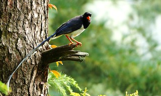 Red-billed Blue Magpie - Wesetern Himalayas ~1500m Altitude