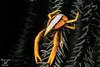 Granchio dei crinoidi, Crinoid squat lobster (Maurizio Lanini) Tags: crostacei fotosub filippine macro underwater water sea