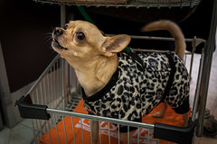 Dressed up for the shopping spree. (Phototravelography) Tags: genoa genova genua gène hund italy kleidung liguria ligurien schoshund tier wagen animal barking citylife dog dress eyes leoparddress streetphotograhy supermarket trolley
