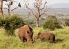 Endangered Species (jaffles) Tags: southafrica südafrika krügernationalpark kruger np wildlife safari natur nature olympus beautiful