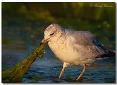 Ring-billed Gull (Betty Vlasiu) Tags: ringbilled gull larus delawarensis bird nature wildlife