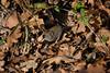 Campagnol (Pauline Moinereau) Tags: campagnol mammalia mammals mammifère muridae muridés rodentia rongeurs vole gland acorn