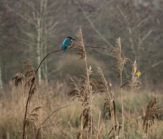 353-2017-365 Kingfisher at Arundel WWT (graber.shirley) Tags: