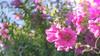 Tree mallow (- A N D R E W -) Tags: meyeroptik görlitz domiplan 50mm f28 treemallow lavatera pink rosa plant summer verano dof depthoffield bokeh bubble blu azul green verde leaves hojas sony ilce6000 alpha a6000 mirrorless manualfocus vintage nature naturaleza