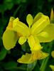 Vue en surplomb d'un Iris Jaune-triangle d'Or (01937100-Thanks for your 3,5 MILLIONS visits.) Tags: jaune iris france marais