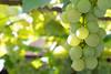 Grapes (PsycheRed) Tags: green grapes fruit frutas uva nature food 50mm nikon d3300