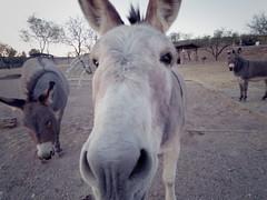 christmas morning donkeys (EllenJo) Tags: clarkdaleburros donkeys burros christmasmorning clarkdale az arizona ellenjo pentaxqs1